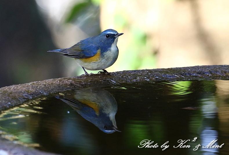 鳥撮り初めは・・「ルリビタキ」さん~Σ^)  byケンケン_e0218518_17564822.jpg