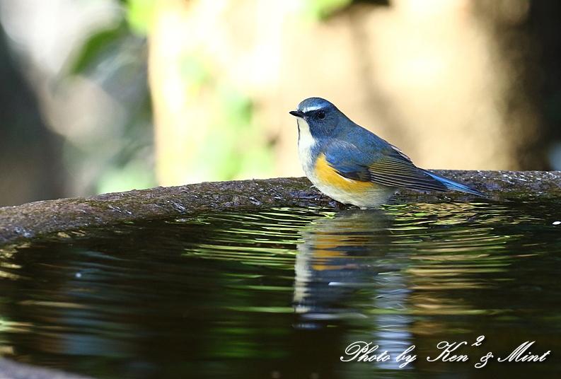鳥撮り初めは・・「ルリビタキ」さん~Σ^)  byケンケン_e0218518_17580787.jpg