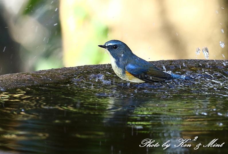 鳥撮り初めは・・「ルリビタキ」さん~Σ^)  byケンケン_e0218518_17582767.jpg