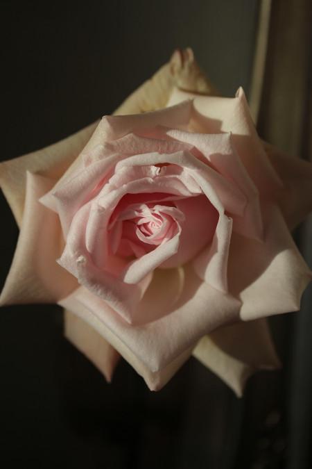 冬の薔薇_d0165723_23565000.jpg