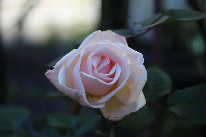 冬の薔薇_d0165723_23565654.jpg