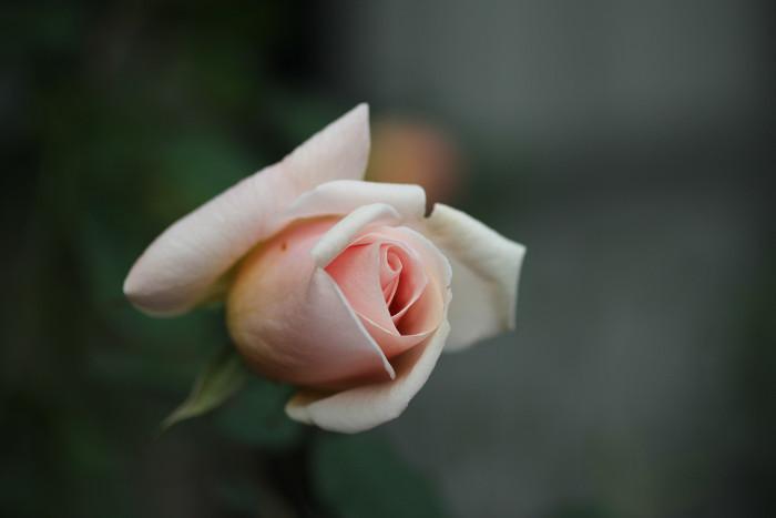 冬の薔薇_d0165723_23565661.jpg