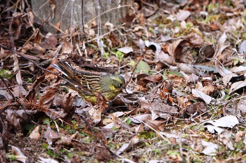 野鳥トレ 151 森林植物園_b0227552_19321008.jpg