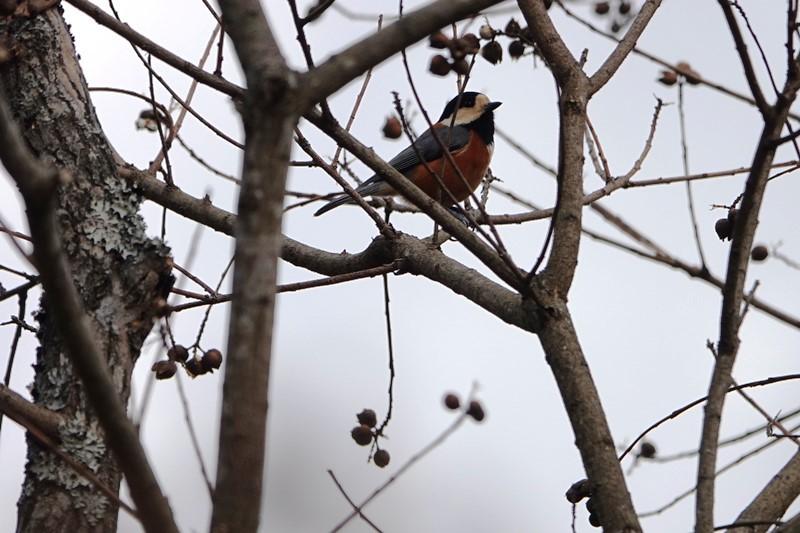野鳥トレ 151 森林植物園_b0227552_19322338.jpg