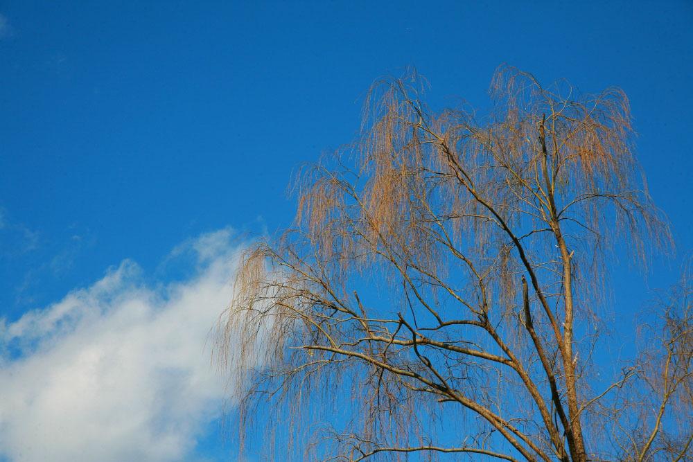 新春 初撮り その2 野川公園の柳_e0165983_11461317.jpg