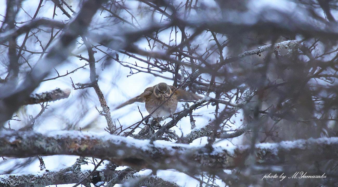 小雪舞う中でハチジョウツグミ_c0217255_05153581.jpg
