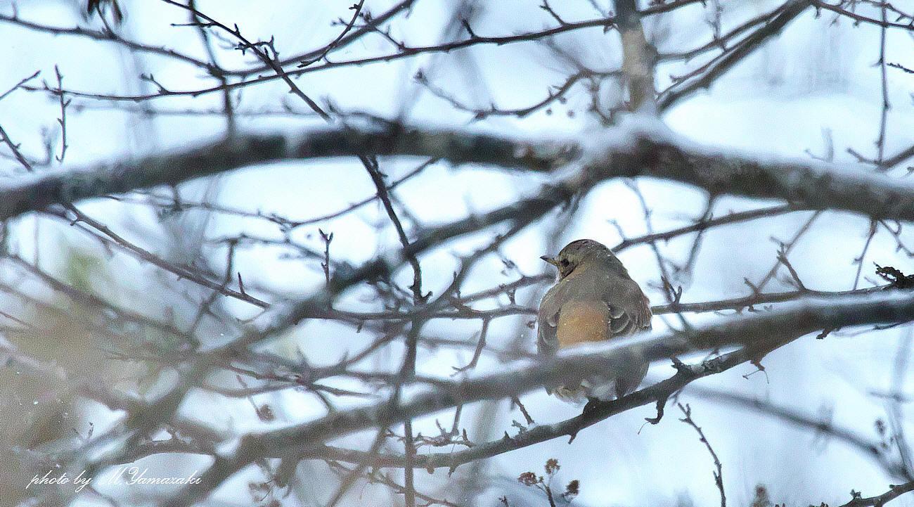 小雪舞う中でハチジョウツグミ_c0217255_05154207.jpg
