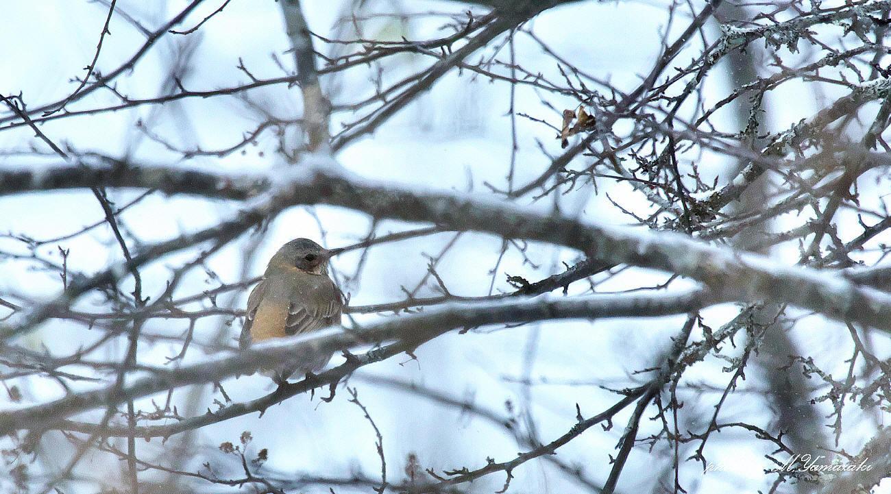 小雪舞う中でハチジョウツグミ_c0217255_05155065.jpg