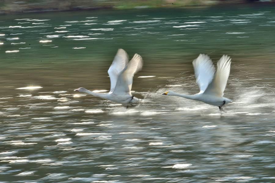 白鳥 ③_b0223668_15353039.jpg