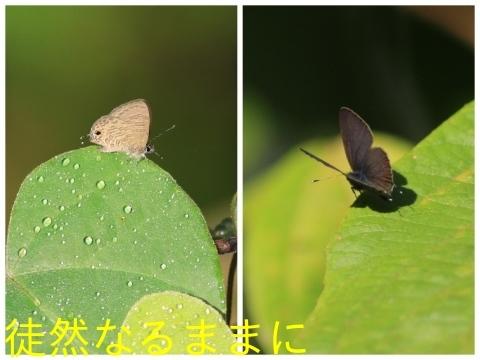 12月30日 AM ホテルの周りの蝶たち inランカウイ島_d0285540_20301095.jpg