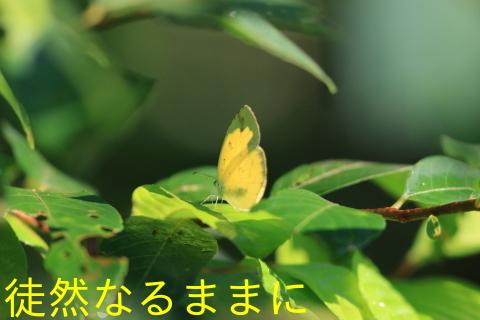12月30日 AM ホテルの周りの蝶たち inランカウイ島_d0285540_20312444.jpg