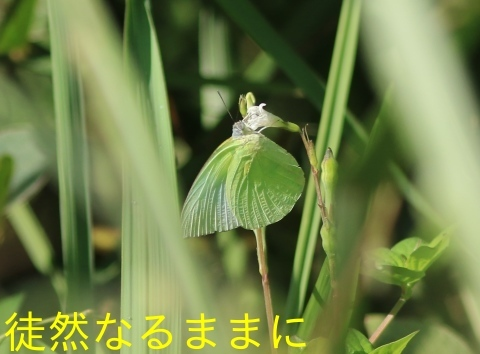 12月30日 AM ホテルの周りの蝶たち inランカウイ島_d0285540_20321612.jpg