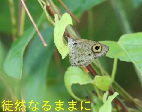 12月30日 AM ホテルの周りの蝶たち inランカウイ島_d0285540_20323134.jpg