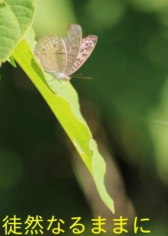 12月30日 AM ホテルの周りの蝶たち inランカウイ島_d0285540_20324774.jpg