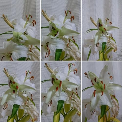 ユリの開花状況_f0373339_1253151.jpg