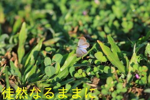 12月30日 AM ホテルの周りの蝶たち inランカウイ島_d0285540_12462440.jpg