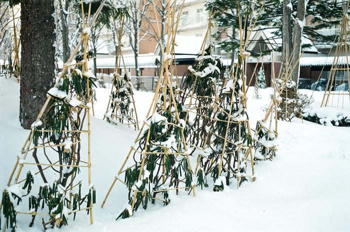 雪中の石楠花と北関東の大雪とレンズアダプター_c0182775_1712810.jpg