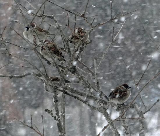 雪の日の雀ちゃんと、お向かいの庭に来たアカゲラなど♪_a0136293_15164898.jpg