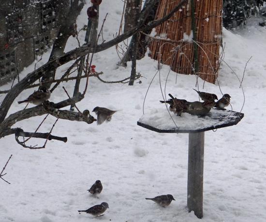雪の日の雀ちゃんと、お向かいの庭に来たアカゲラなど♪_a0136293_15215422.jpg