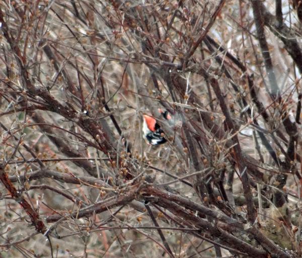 雪の日の雀ちゃんと、お向かいの庭に来たアカゲラなど♪_a0136293_15310063.jpg