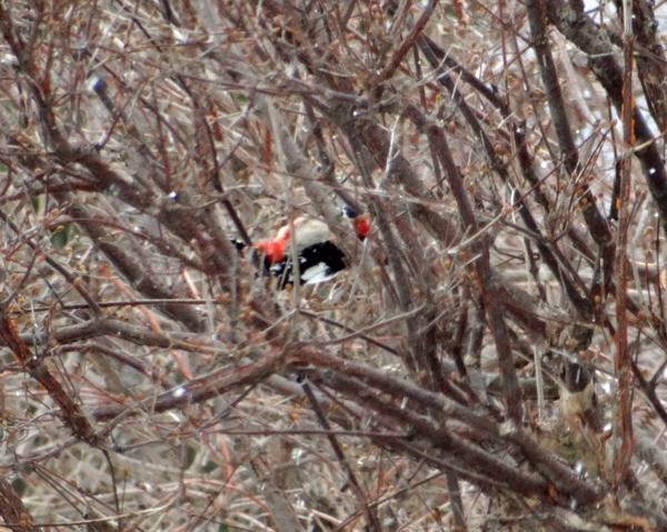 雪の日の雀ちゃんと、お向かいの庭に来たアカゲラなど♪_a0136293_15322023.jpg
