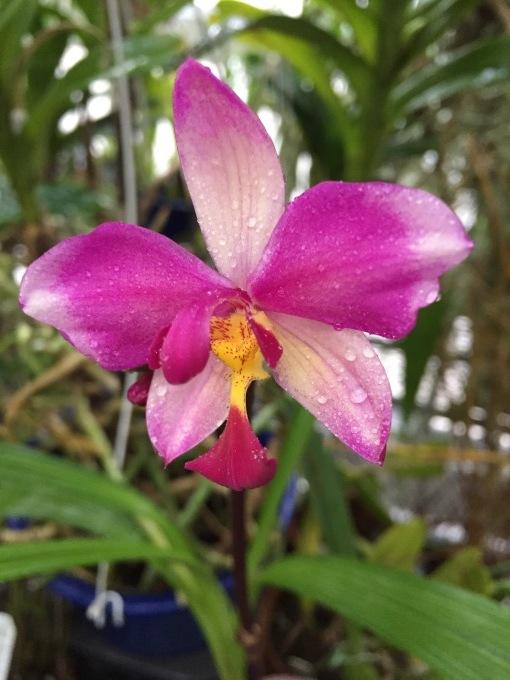 Spathoglottis parsonii \'Prasarn\' _d0007501_10240034.jpeg