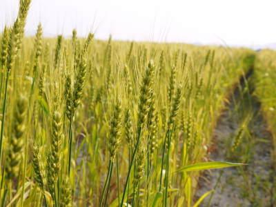 無農薬栽培『米粉』大好評販売中!熊本県菊池市七城町で無農薬栽培のひのひかり100%使用の米粉です!!_a0254656_17324569.jpg