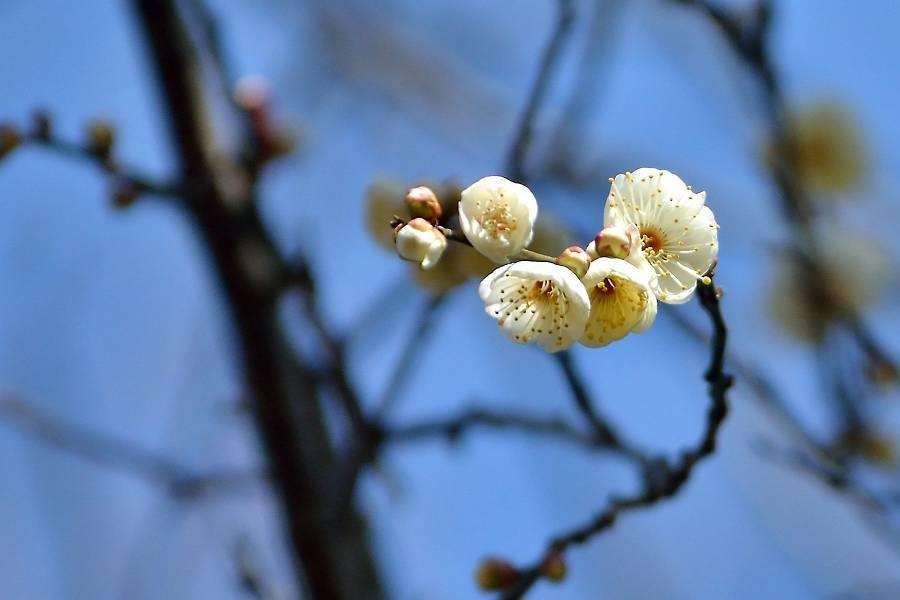 梅の花_b0223668_09005475.jpg