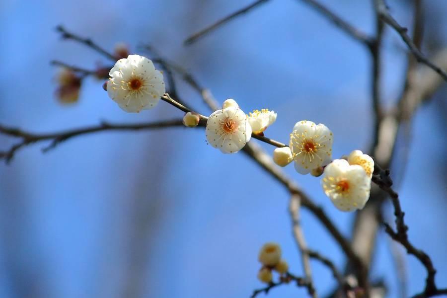 梅の花_b0223668_09013920.jpg