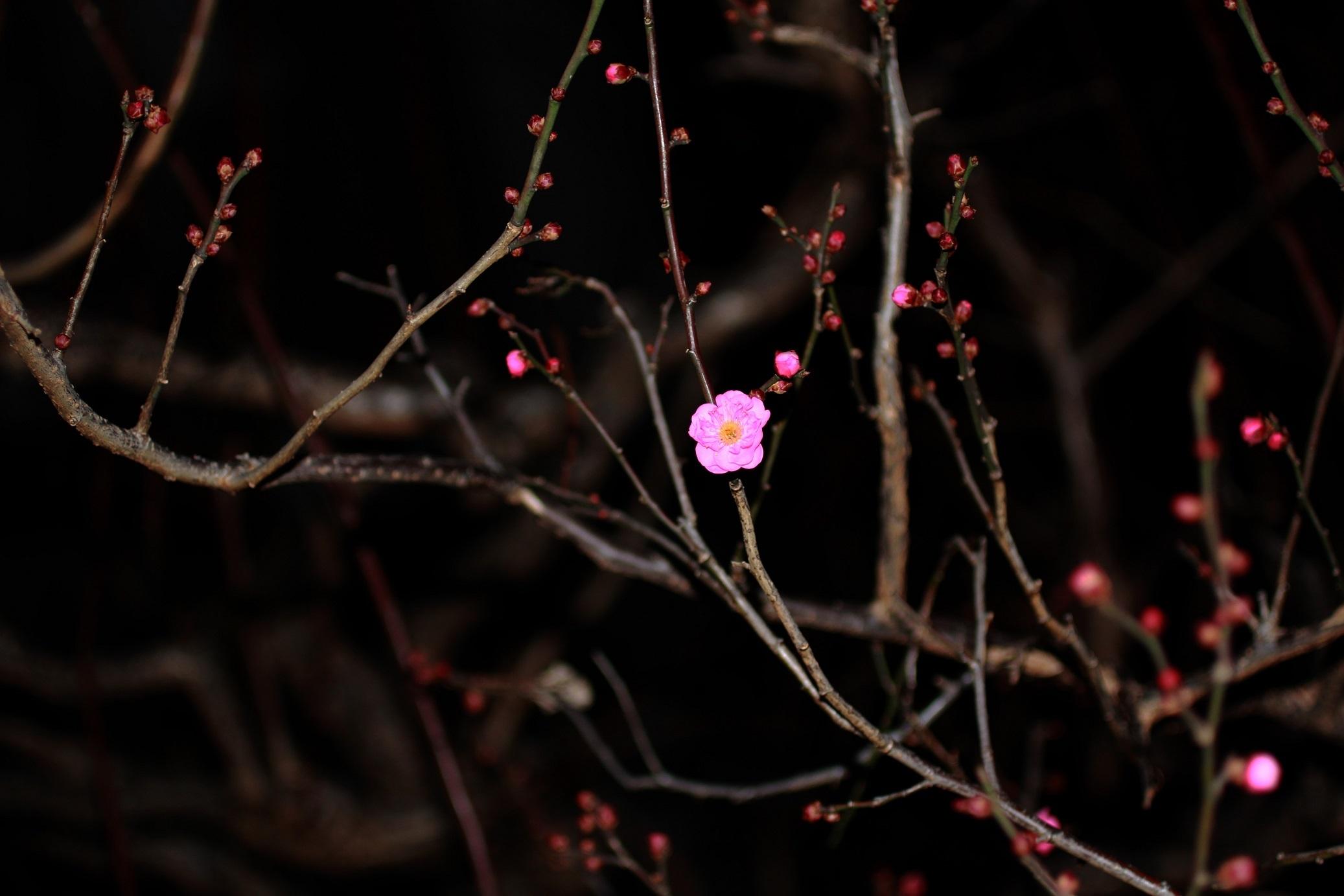 紅梅の花開く_a0107574_17514816.jpg