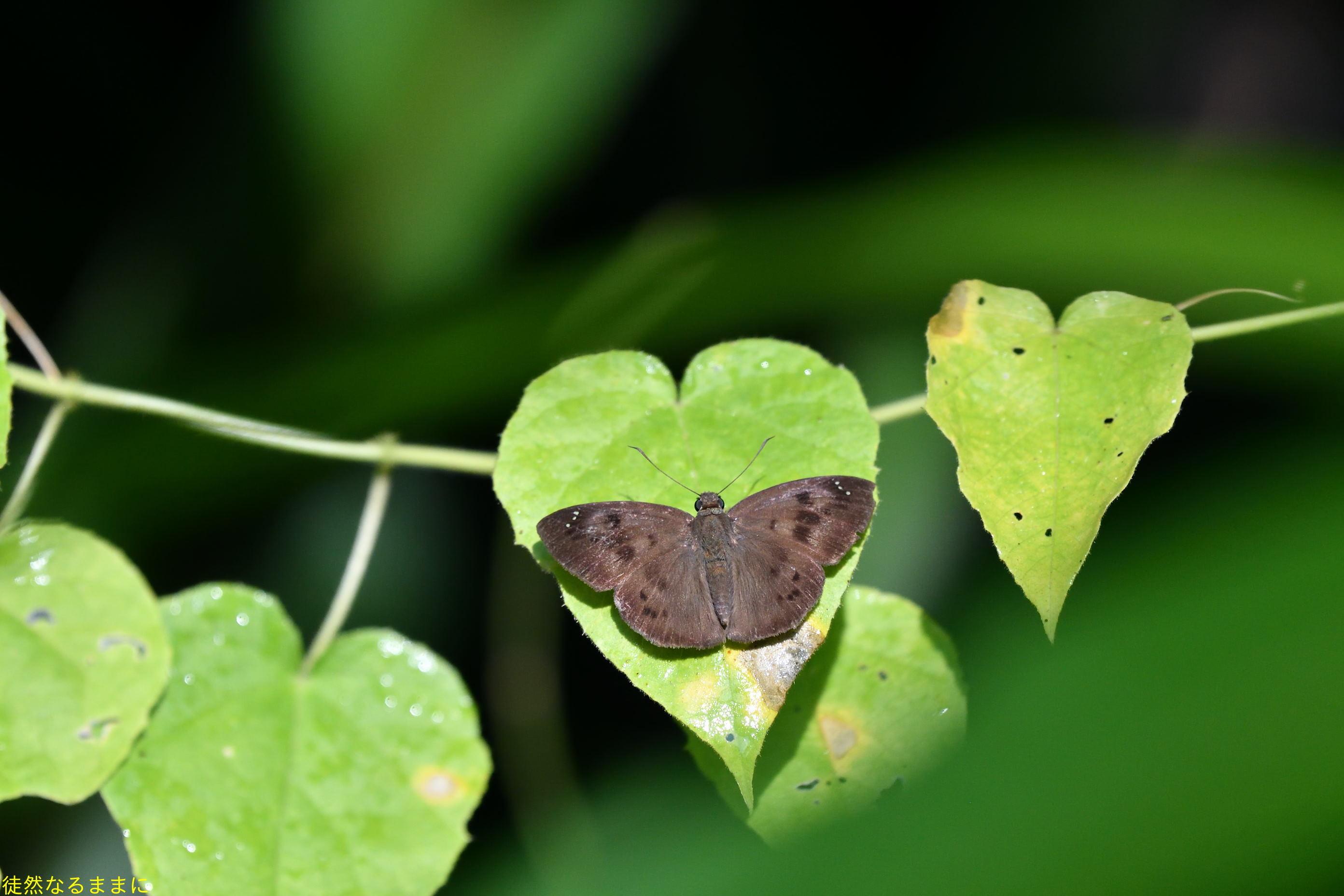 12月30日 AM ホテルの周りの蝶たち inランカウイ島_d0285540_07303072.jpg