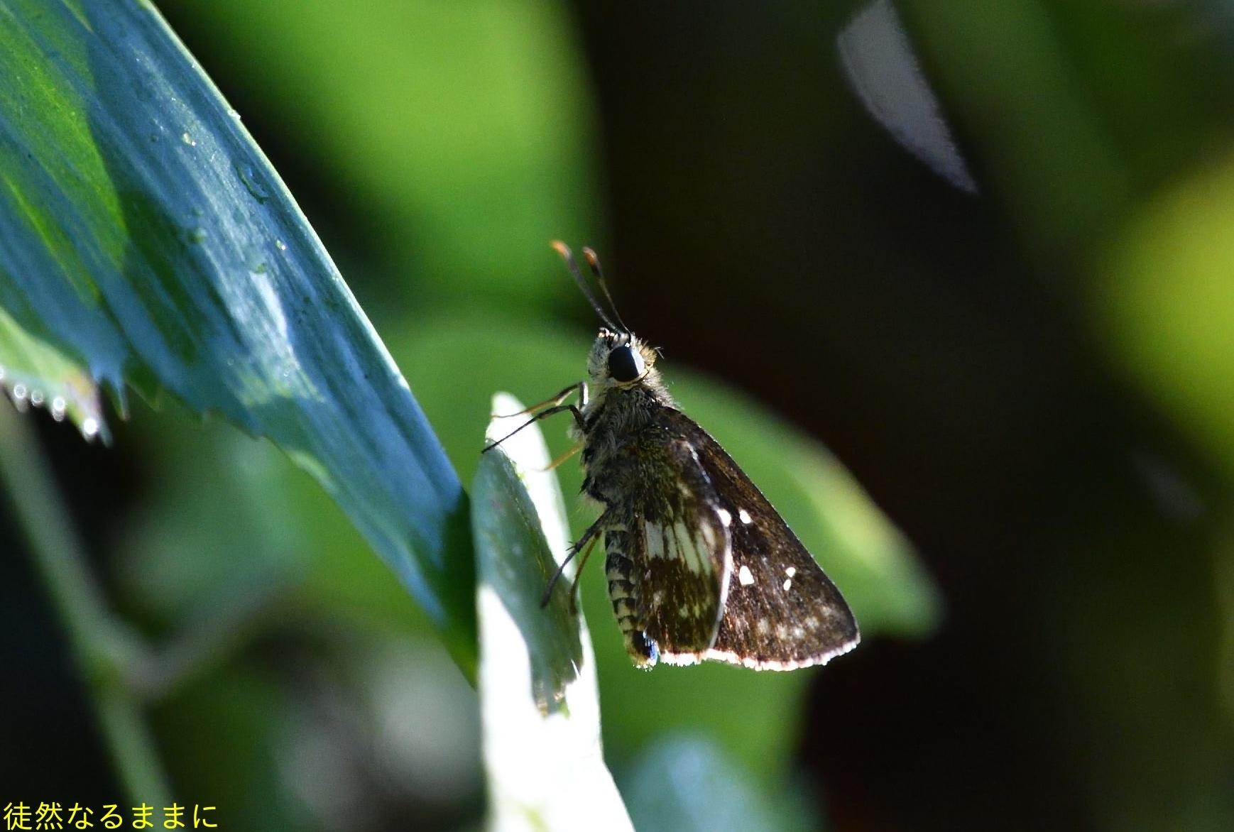 12月30日 AM ホテルの周りの蝶たち inランカウイ島_d0285540_07303554.jpg