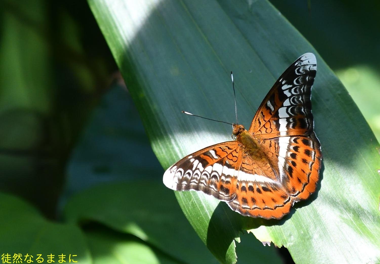 12月30日 AM ホテルの周りの蝶たち inランカウイ島_d0285540_07314292.jpg