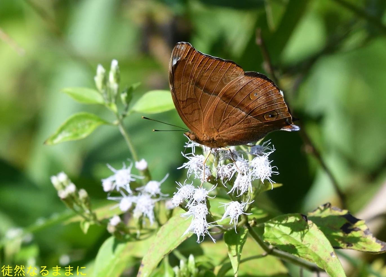 12月30日 AM ホテルの周りの蝶たち inランカウイ島_d0285540_07320001.jpg