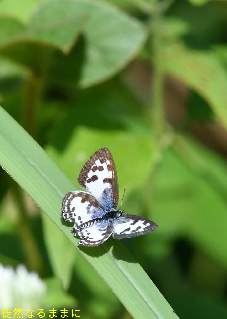 12月30日 AM ホテルの周りの蝶たち inランカウイ島_d0285540_07324468.jpg