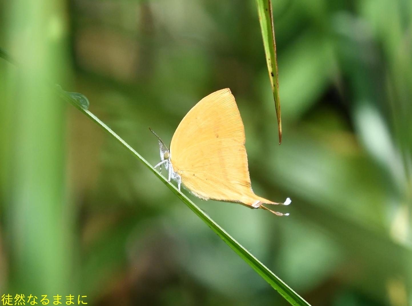 12月30日 AM ホテルの周りの蝶たち inランカウイ島_d0285540_07325810.jpg
