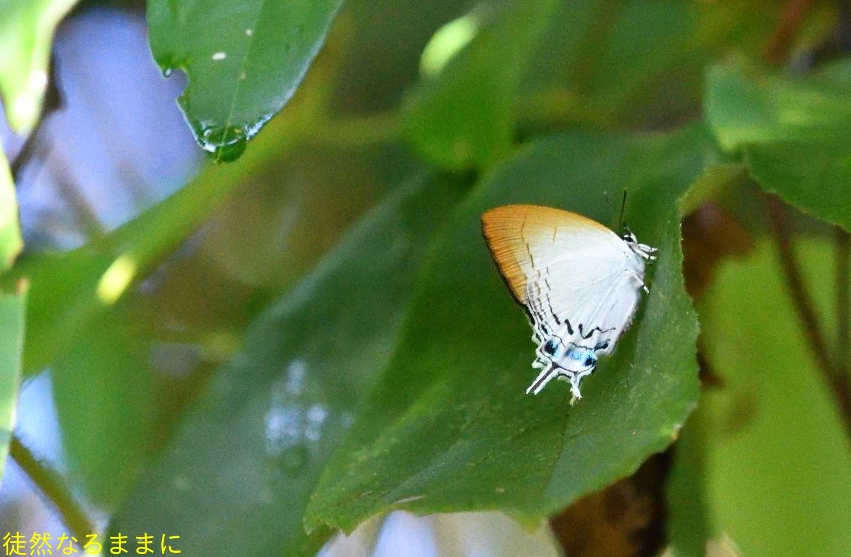 12月30日 AM ホテルの周りの蝶たち inランカウイ島_d0285540_07333096.jpg