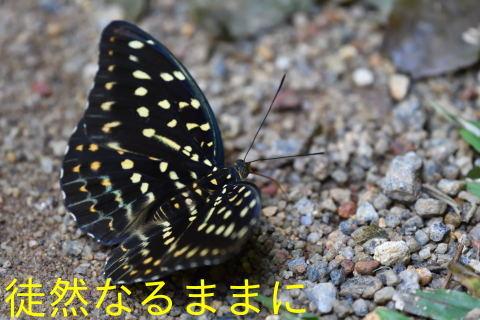 12月30日 AM ホテルの周りの蝶たち inランカウイ島_d0285540_07355481.jpg