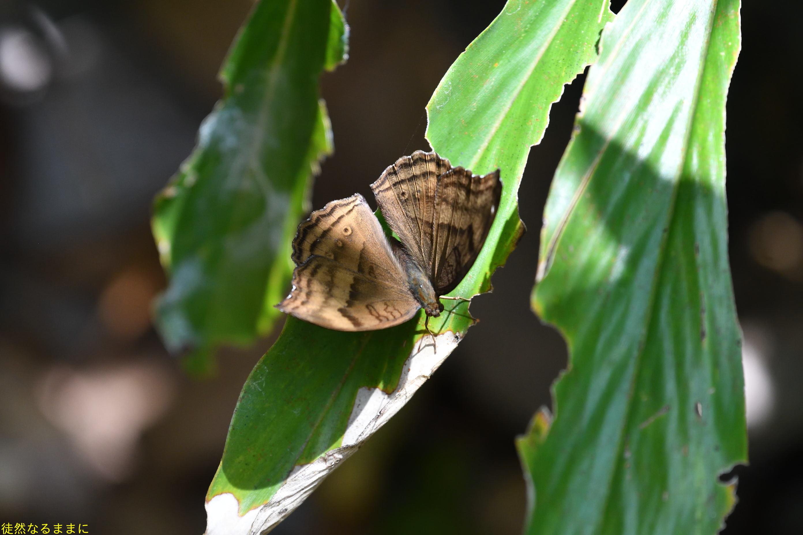 12月30日 AM ホテルの周りの蝶たち inランカウイ島_d0285540_07364375.jpg