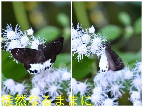 12月30日 AM ホテルの周りの蝶たち inランカウイ島_d0285540_07424614.jpg