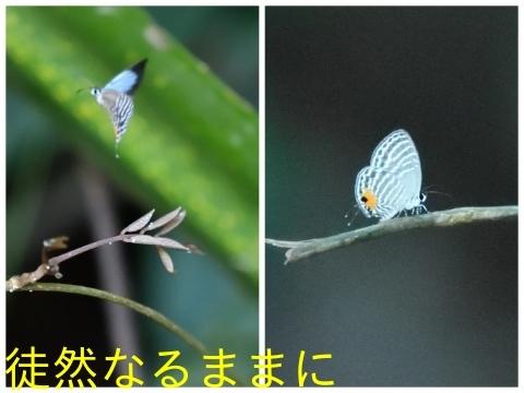 12月30日 AM ホテルの周りの蝶たち inランカウイ島_d0285540_07425309.jpg