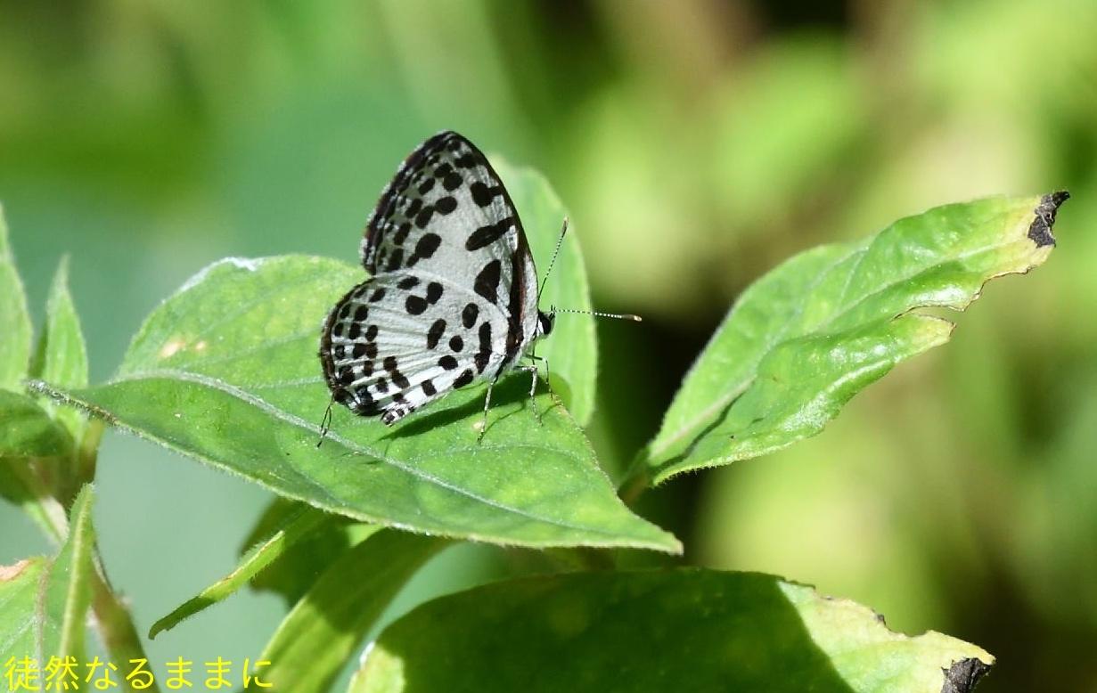 12月30日 AM ホテルの周りの蝶たち inランカウイ島_d0285540_07504911.jpg