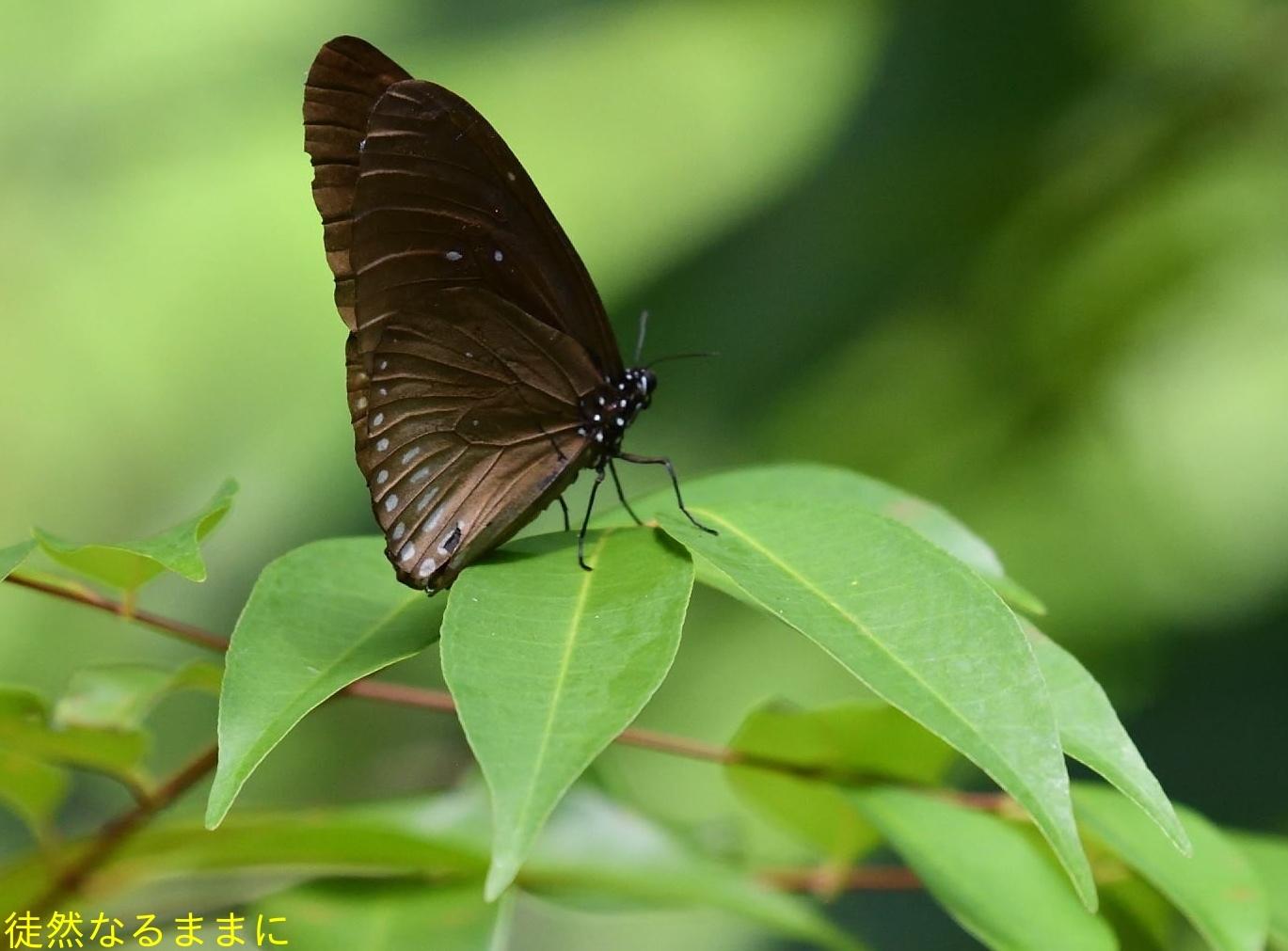 12月30日 AM ホテルの周りの蝶たち inランカウイ島_d0285540_07512149.jpg
