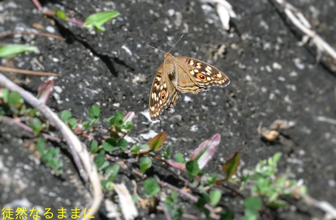 12月30日 AM ホテルの周りの蝶たち inランカウイ島_d0285540_07512420.jpg