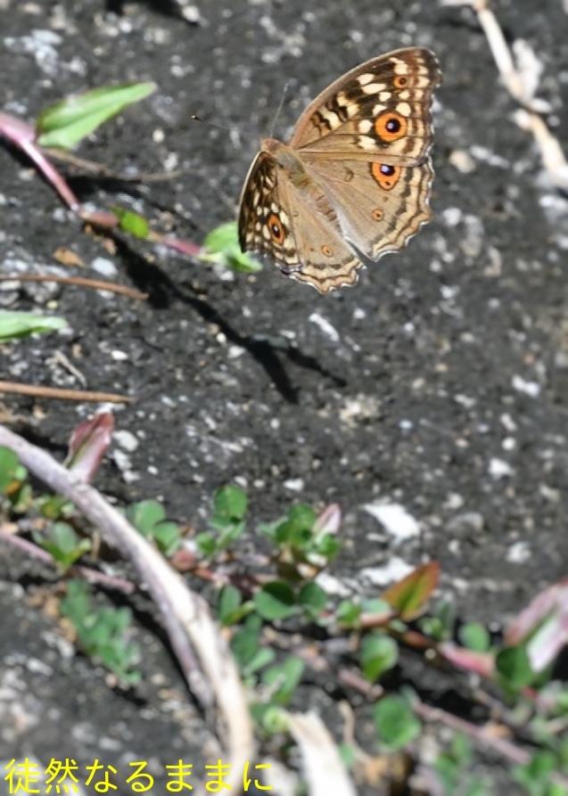 12月30日 AM ホテルの周りの蝶たち inランカウイ島_d0285540_07512760.jpg