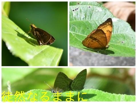 12月30日 AM ホテルの周りの蝶たち inランカウイ島_d0285540_20143935.jpg