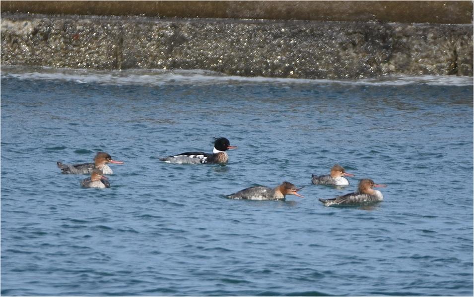海辺のカモ_f0088971_00124144.jpg