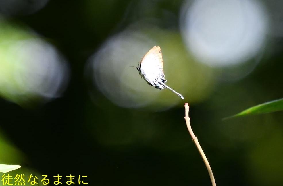 12月30日 PM 蝶探索  in ランカウイ島_d0285540_06213316.jpg