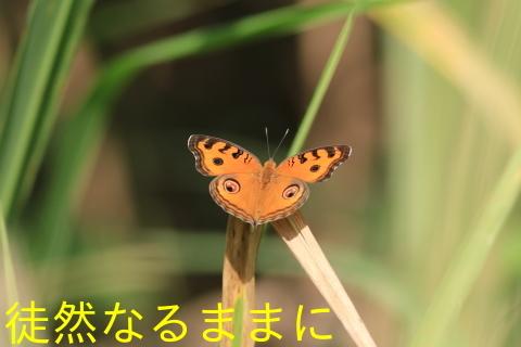 12月30日 AM ホテルの周りの蝶たち inランカウイ島_d0285540_06431679.jpg