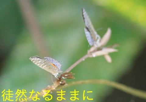 12月30日 PM 蝶探索  in ランカウイ島_d0285540_06454342.jpg